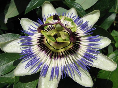 passion-flower-83004_960_720